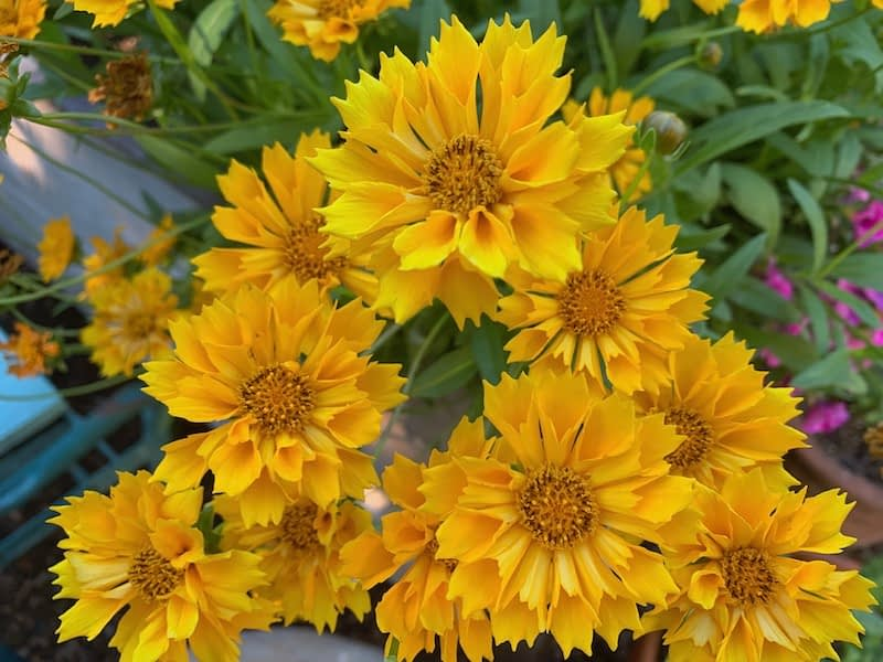 Gardening expert for senior gardeners, Toni Gattone loves to use the golden blossoms of the Coreopsis flowers from her backyard garden for her fresh cut flower bouquets.
