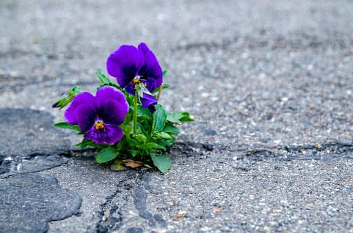 Purple Pansies growing up through s crack in the asphalt, symbolizing and celebrating the resilience found in Adaptive Gardening.