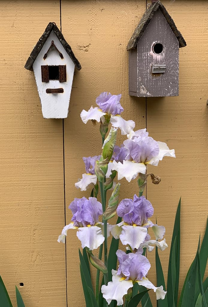 Adaptive Gardening expert Toni Gattone, shares her stunning Purple and white Bearded Iris sitting in front of her vintage birdhouses hanging on a yellow painted wall in her home garden.